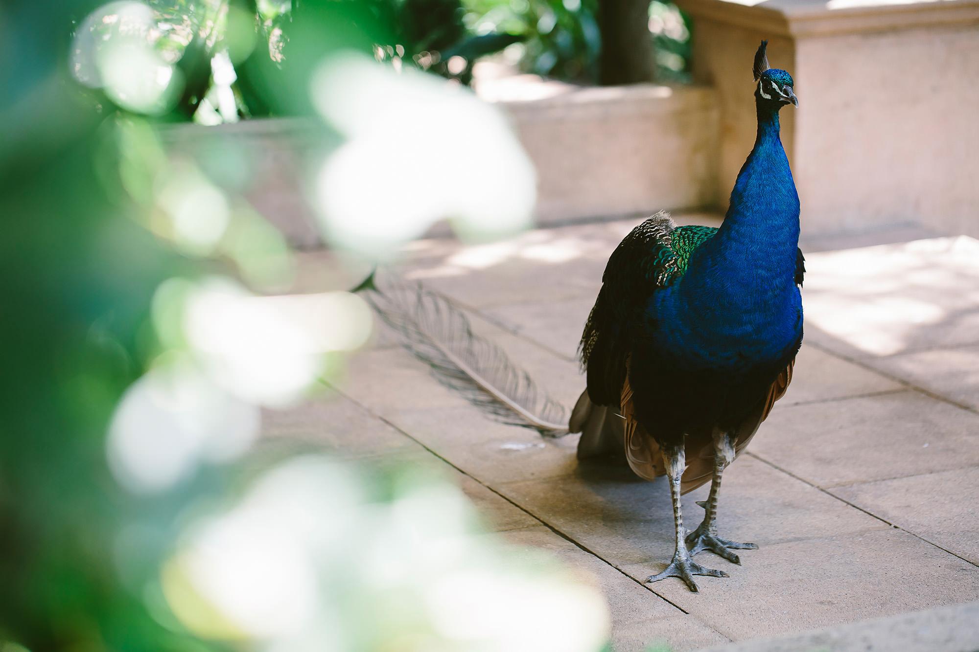 jaspers berry wedding venue resident peacock