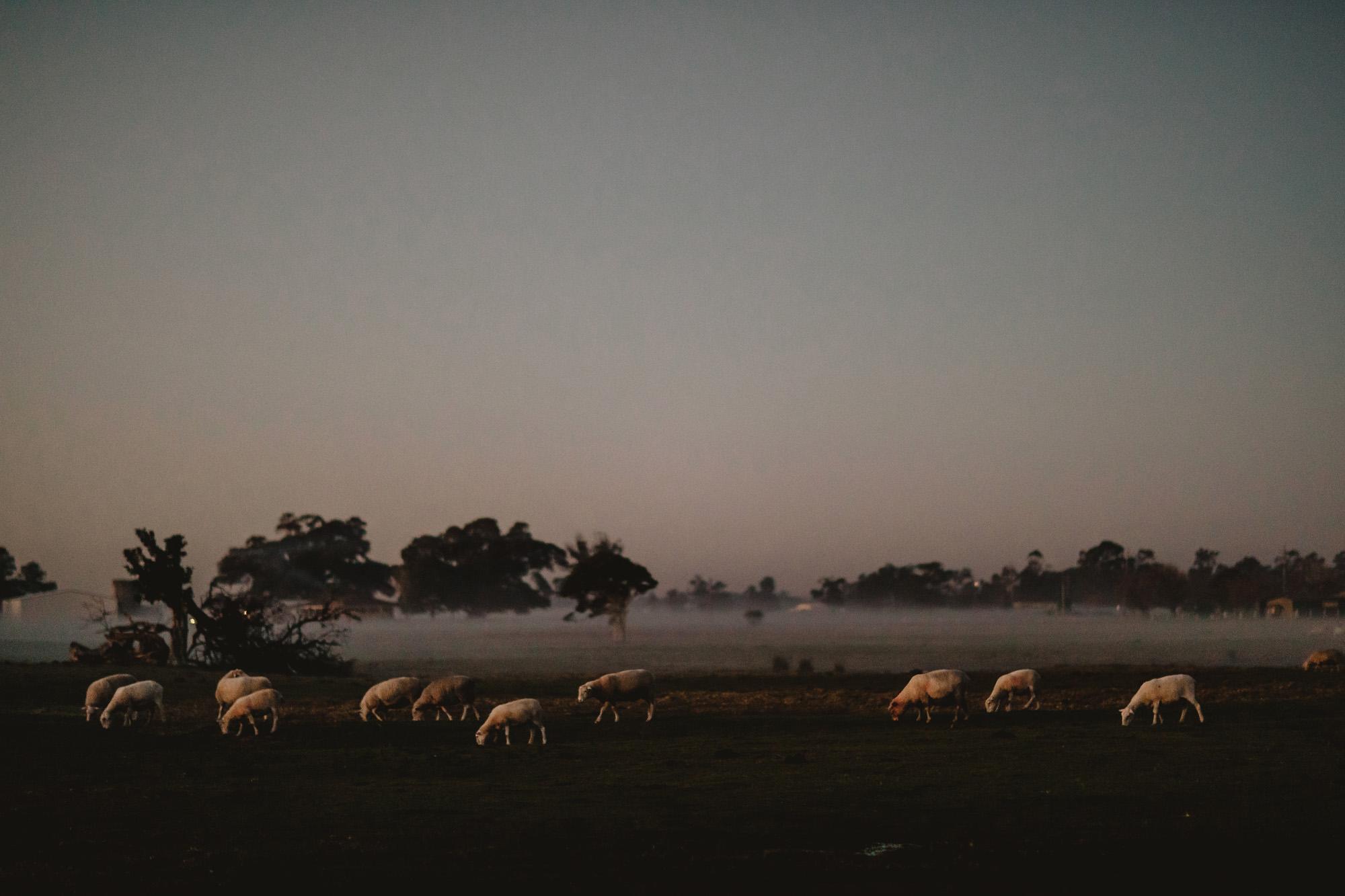 sheep and fog at sunset